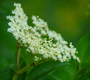 Recipes: elderflower cordial, elderflower tea