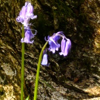 Meditation bluebell