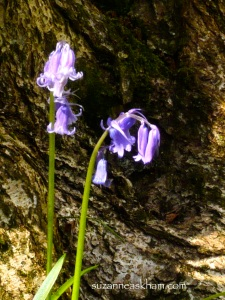 Bluebell in woodland