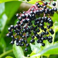 Recipe: elderberry cordial