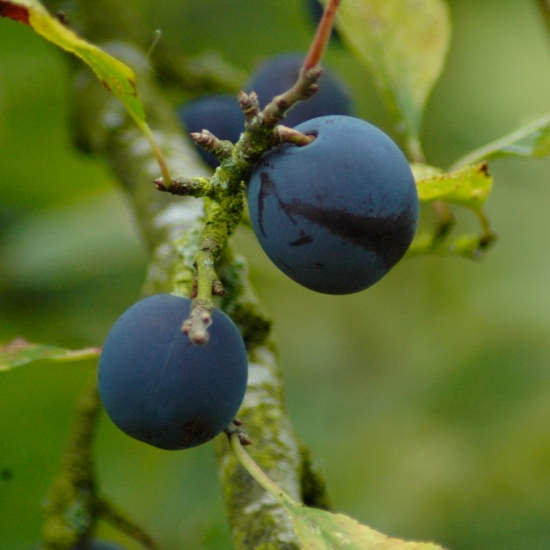 Damsons on tree
