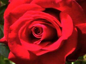 Red rose 1