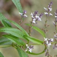 Lemon verbena tea - the recipe