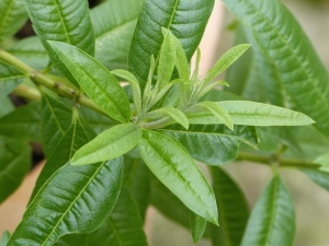 Lemon verbena leaves